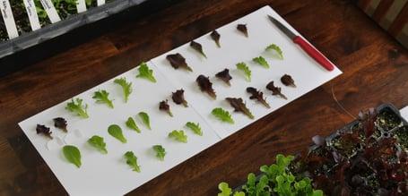 Lettuce, Baby Leaf evaluating 04.11.19 (5)